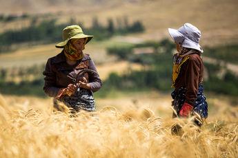 نرخ درخواستی کشاورزان برای خرید گندم