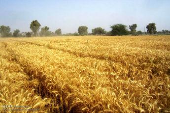 پیشبینی خرید 10 میلیون تن گندم/ قیمت جدید خرید تضمینی اعلام شود