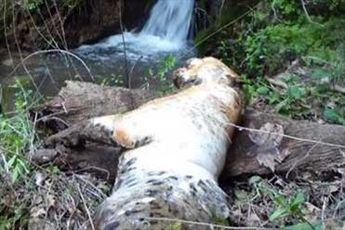 مرگ یک قلاده پلنگ ایرانی