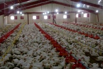نهاده مرغ دقیقه ای گران می شود