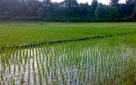 دستور ممنوعیت کشت برنج بجز در گیلان و مازندران غیرقابل تحقق است