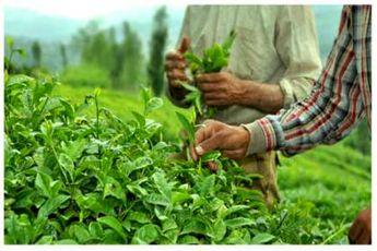 قیمت خرید تضمینی برگ سبز چای افزایش یافت