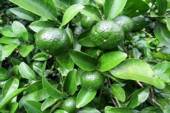 شهروندان از خرید نارنگی های پیش رس غیر سبز خودداری کنند