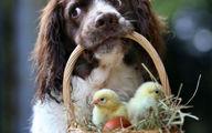 سگی که مادر جوجه ها شد! + تصاویر